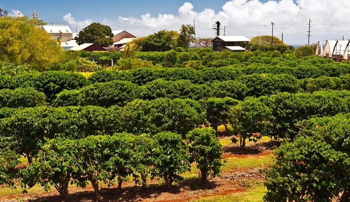 A field of Hawaiian coffee plantation