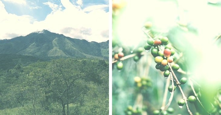 Green Mountain vs Coffee Beans in a branch