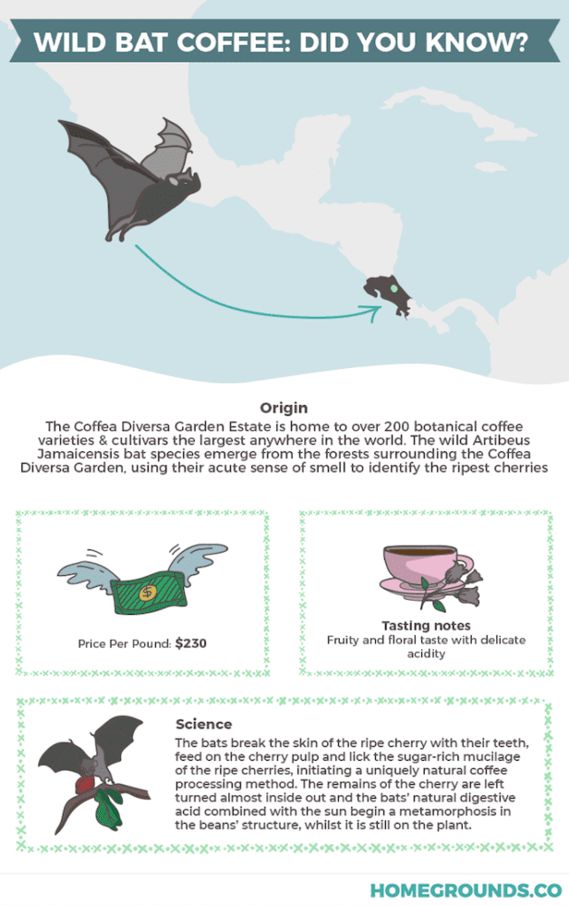Infographic showing where wild bat coffee comes from