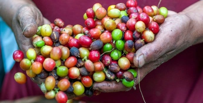 A coffee farmer holding coffee cherries in preparation for poop coffee production