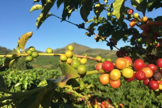 coffee grown in the sun