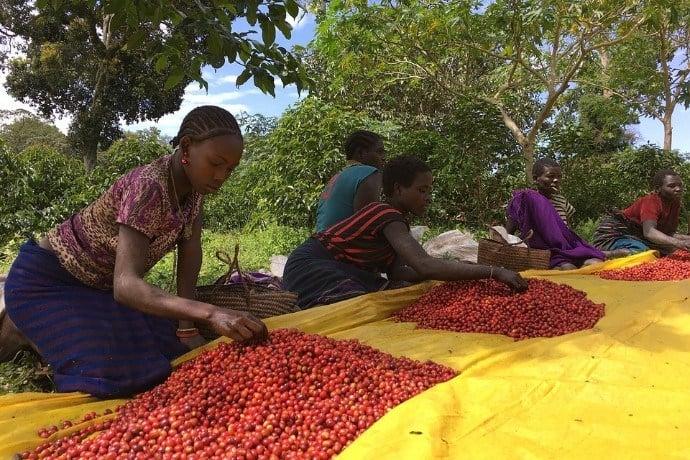 Coffee sorting in Ethiopia