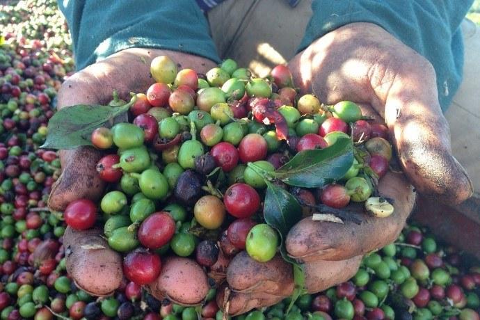 Handful of coffee cherries