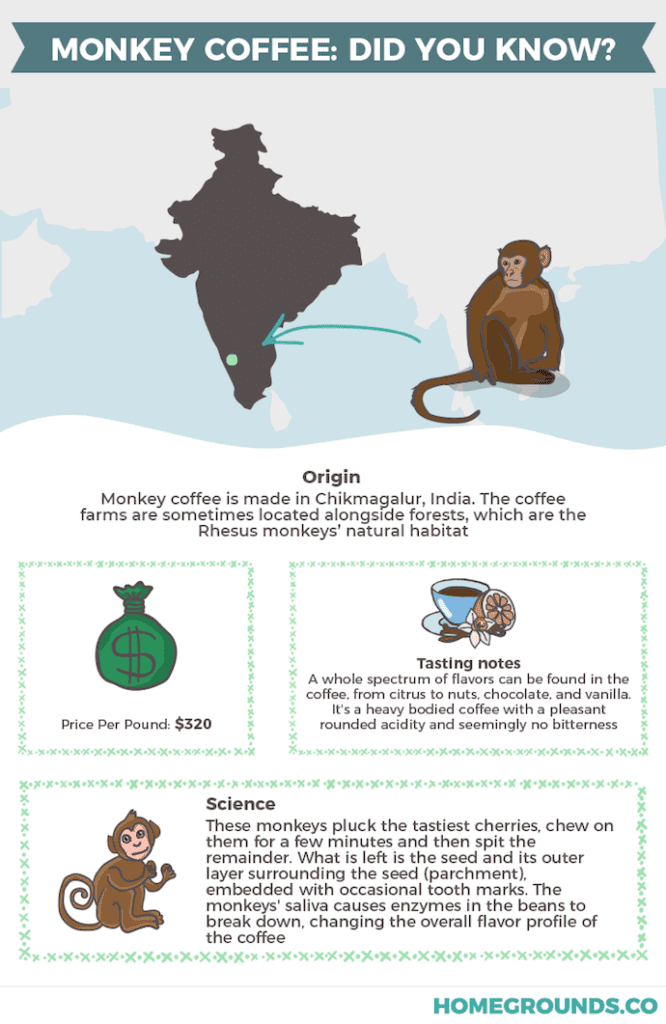 An infographic showing where monkey poop coffee comes from