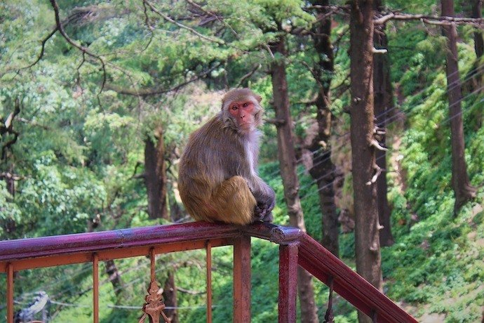 Monkey sitting on a bench overlooking the forest