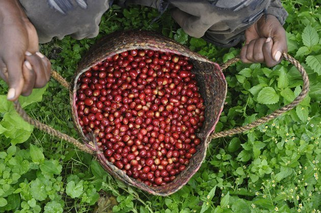 brazilian coffee cherries