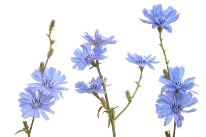 Flowers to make chicory coffee