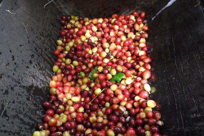 Arabica coffee cherries