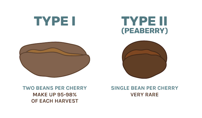 Regular coffee beans vs Peaberry Coffee Beans